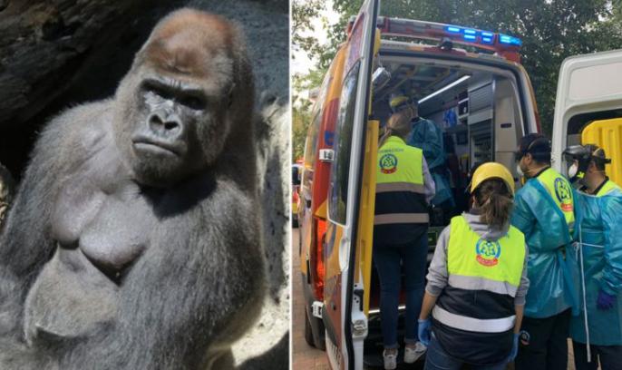 Gorilla in 200 kilograms almost killed a zoo employee in Madrid