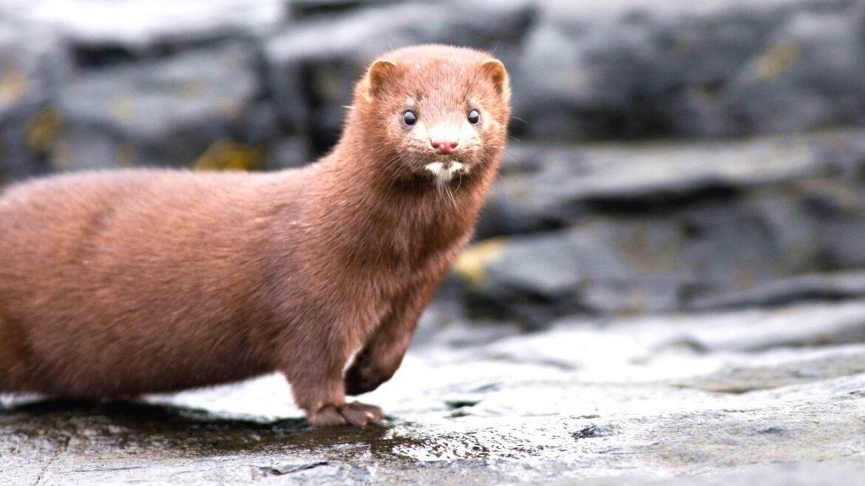 Coronavirus mutation in minks: the disease was found in Poland