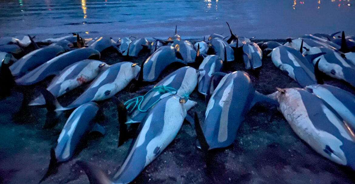 The expert calls the killing of a record number of dolphins in the Faroe Islands a mistake